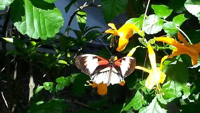 Butterfly-DIM-700
