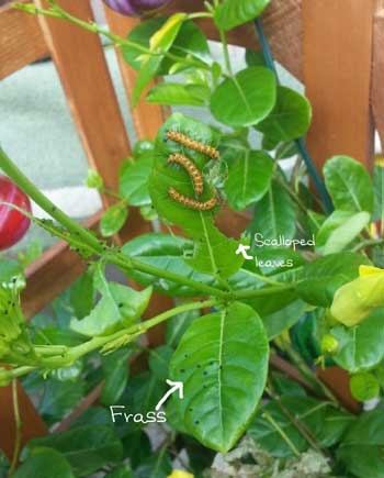 Caterpillars--(2)