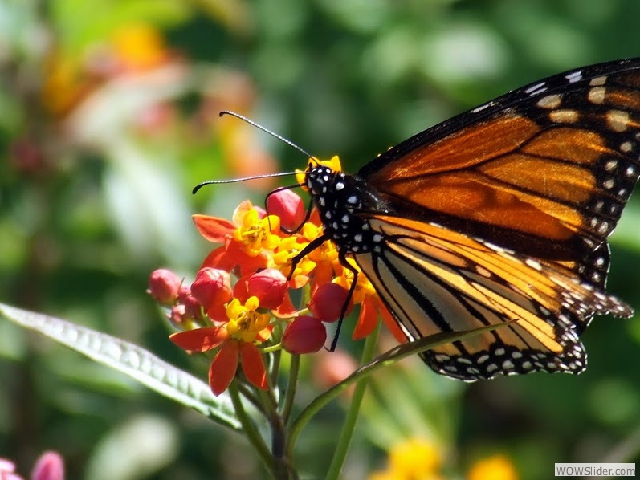 A Monarch Stops On A Milkweed Plant.