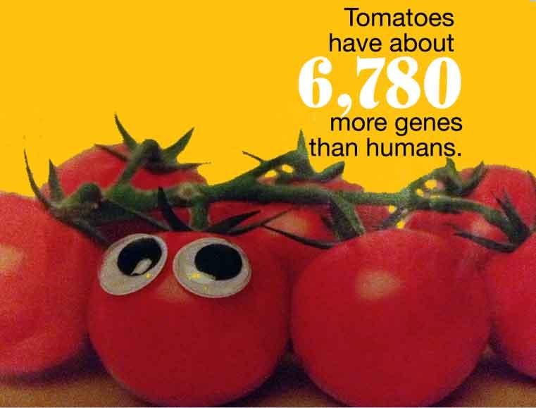 tomato-genes