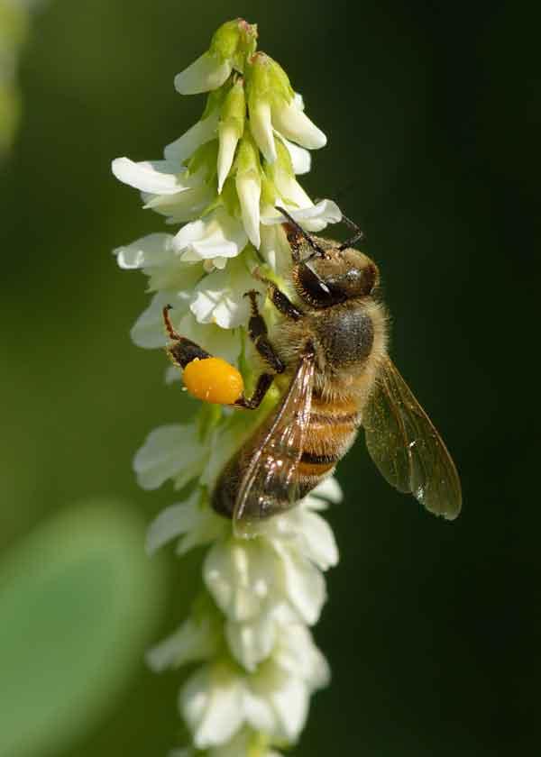 Western Honey Bee  apis_mellifera