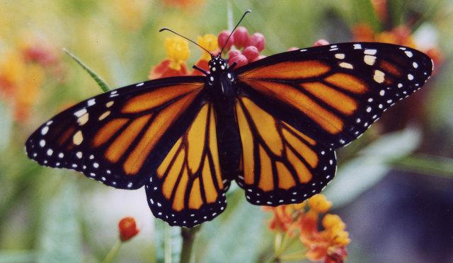 Monarch butterfly- Danaus plexippus