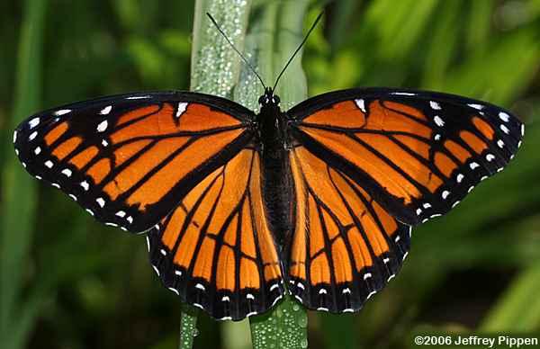 Viceroy butterfly Limenitis archippus   photo below by Jeffrey Pippen 2006
