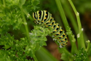 Anise Swallowtail Caterpillar by Ethington