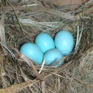 Bluebird eggs 6-9