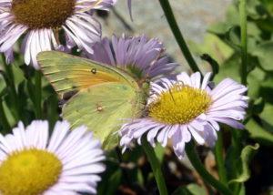 KE Sulphur butterfly IMG_0010