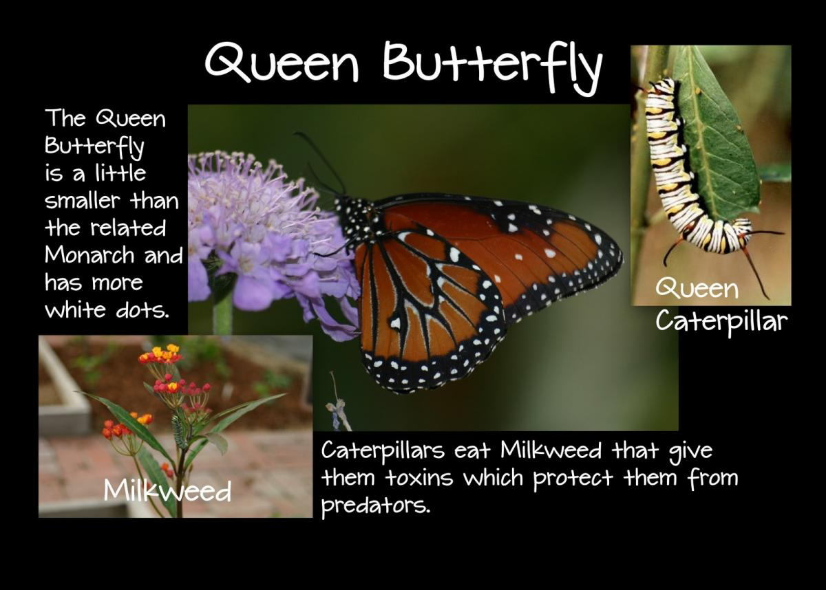 Queen Butterfly Kids Growing Strong