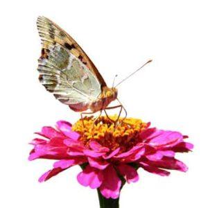 butterfly-nectar