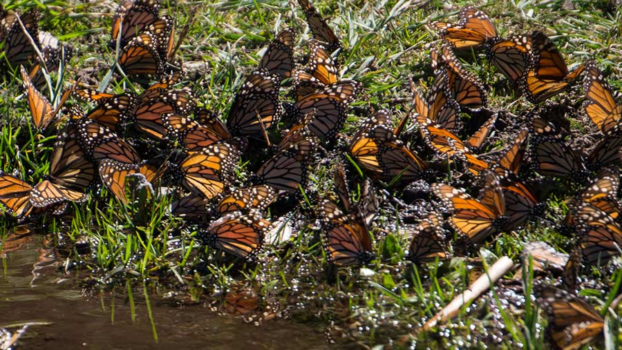 Monarch butterflies drinking water